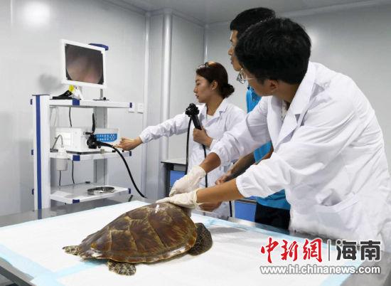 蓝海保育救护中心工作人员为海龟检查身体。